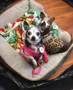 "Senior Female Dog - Chihuahua: ""Bianca"""