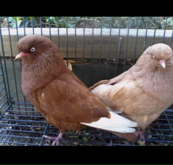 Wanted: WANTED: Domestic Show Flight pigeons