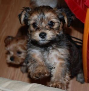 Wanted: small hypoallergenic puppy