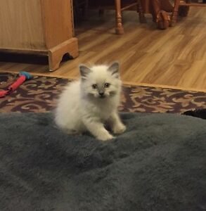 *~*~*Absolutely adorable Himalayan Maine Coon cross kittens *~*~
