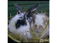 Luxury Rabbit Boarding Guinea Pig Pet Sitting