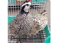 Snowflake quail