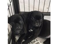 2 male pugs for sale