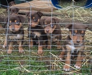 Purebred working kelpie pups Echuca Campaspe Area Preview