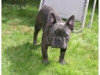 French bulldog blue boy
