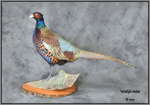 Pheasant Taxidermy Mount Bird Gamebird Feathers Exotic Wildlife-Artist