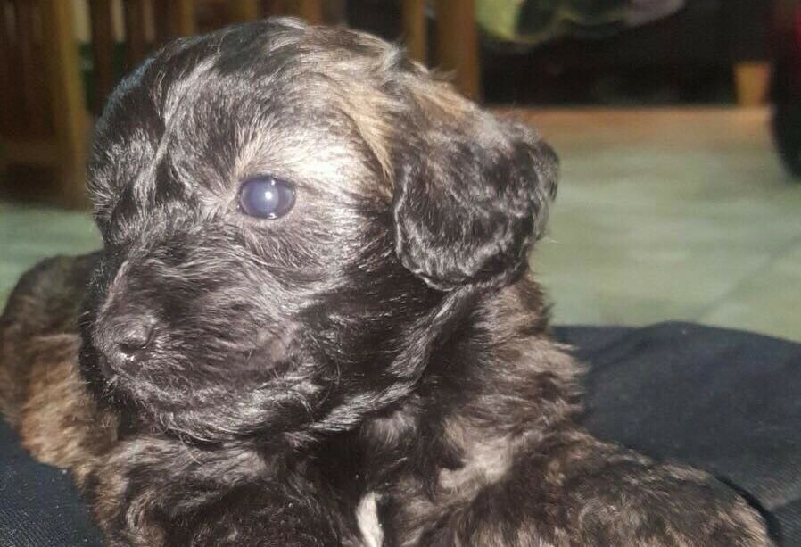 Shih Tzupoodle Mixed Pups In Dungannon County Tyrone Gumtree