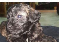 Shih Tzu/Poodle mixed pups