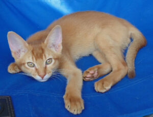 Magnifique chaton Abyssin  \ Abyssinian