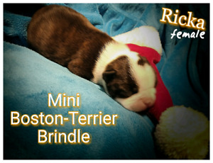 Boston-Terrier ( just one female left)