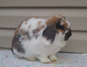 Holland lop rabbits for pets or breeding