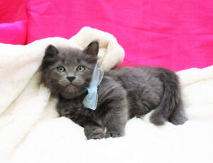 Super cute Russian Blue x Ragdoll Kittens