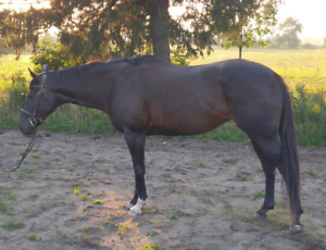 Athletic 9yr Old Thoroughbred Mare