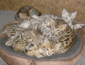 PUREBRED BENGAL KITTENS TICA REGISTERED