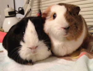LOOKING TO ADOPT GUINEA PIGS- Young/2