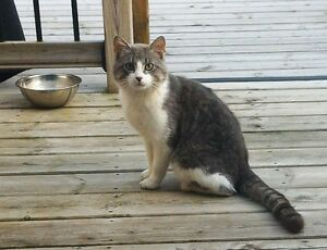 CAT FEMALE GREY AND WHITE N. E. STRATFORD