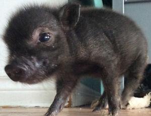 mini pig cochon vietnamien