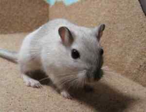 I am looking for a baby Gerbil. I have alot of experience :)