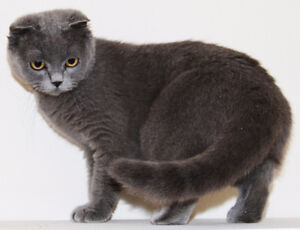 Gray scottish fold female cat