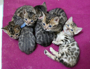 bengal brown, silver, snow lynx and charcoal brown