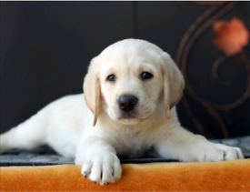 We are looking for labrador girl poppy