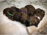 Beautiful stable red shihpoo puppies