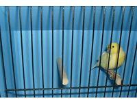 Beautiful hen canary