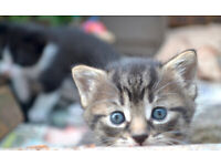 x3 Lovely Kittens for Sale (4-6wks old approx), £40 each. South Down Area. [ SOLD ]