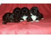 Shih tzu puppies dog
