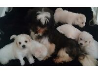 Stunning malshi puppies for sale