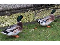 Two Young Male Drake Ducks 1 Year Old Ready Now