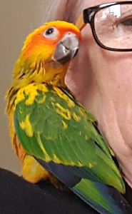 Lost 2 young Sun Conures Waratah Newcastle Area Preview