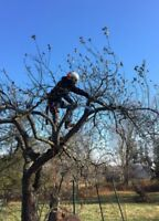 Taille d'arbre fruitier / fruit tree pruning