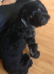 Lost Dog Black Morkie named Rocky