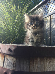 Purebred Traditional Siberian Forest Kittens