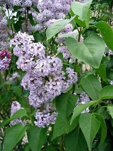 2 to 6 foot lilacs