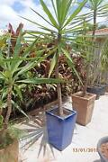 Large blue glazed ceramic rectangular pot with yucca - Brinsmead Brinsmead Cairns City Preview