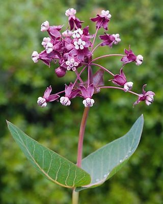 Heartleaf Milkweed  Asclepias Cordifolia  50  Seeds  Monarch Host Plant