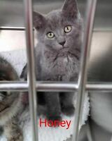 "Young Female Cat - Domestic Short Hair-gray: ""Honey"""