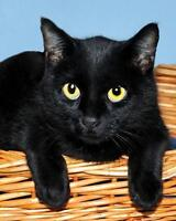 "Young Male Cat - Korat-Domestic Short Hair-black: ""Stanley"" Ottawa Ottawa / Gatineau Area Preview"