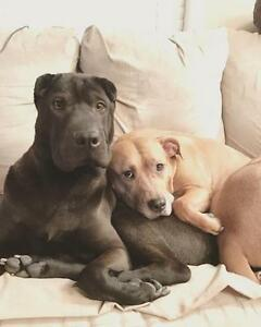"""Young Female Dog - Shar Pei: """"Shy Olive in Edmonton"""" Downtown-West End Greater Vancouver Area image 2"""