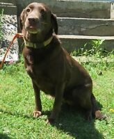 Chocolate Lab Looking to be adopted
