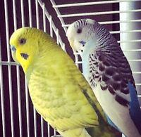 Cute Birds- 2 parakeet for sale