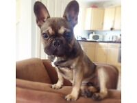 French bull dog male 8 months old pure pedigree kc registered