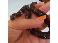 Cb15 male tri colour hognose