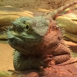 4 Year old Bearded Dragon