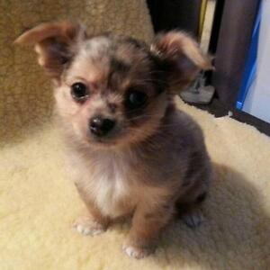 Long Hair Male Chihuahua and yorkie puppy