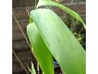 Large leaved Arrow bamboo plant