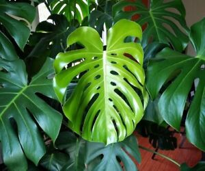 Monstera / Swiss cheese plant