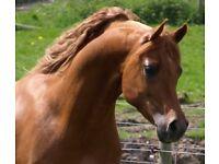 arab stallion for sale or loan